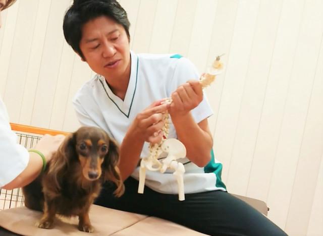 犬のぎっくり腰(急性腰痛)の画像